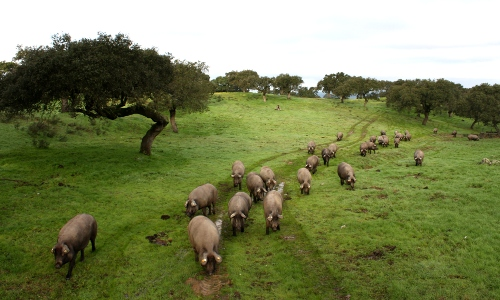 Iberian pigs in a dehesa in Extremadura