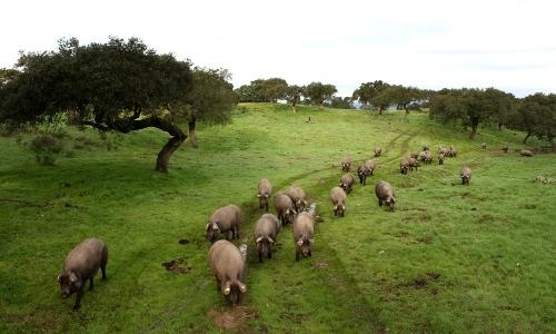 Pastoreo de cerdos ibéricos en la dehesa extremeña
