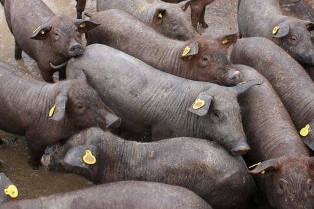 Iberian pigs on a farm