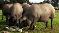 Cerdo ibérico en una dehesa
