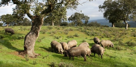 Cerdos de GM e Hijos en el campo