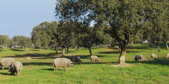Cerdos pata negra en una dehesa ecológica