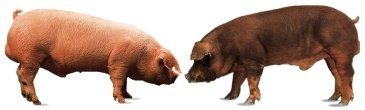 Ejemplares de cerdos blancos (Landrace y Duroc)