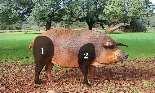 Jamón (1) y paleta (2) en la anatomía del cerdo