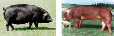Cerdos Large Black (izquierda) y Duroc (derecha)