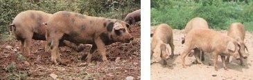 Cerdos ibéricos Manchado de Jabugo (izquierda) y Torbiscal (derecha)