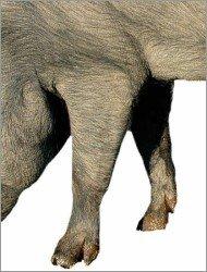 Pata delantera de un cerdo ibérico