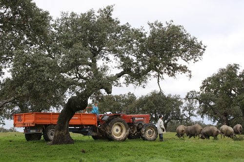 Cerdos ibéricos pastando en un encinar, junto a un tractor y una persona que los mira